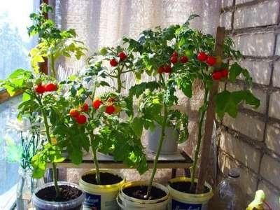 когда лучше садить помидоры для балкона фото клубнику