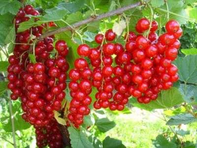 Красная смородина сахарная описание сорта фото отзывы