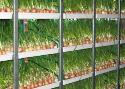 Технология выращивания лука из семян на перо 27