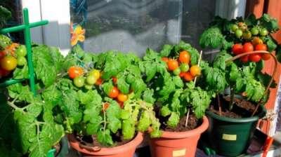 Выращивание томатов в пластиковых бутылках 65