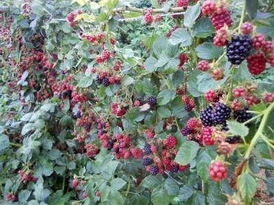 Выращивание ежевики на украине 69
