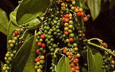 Перец черный горький горошком выращивание 84