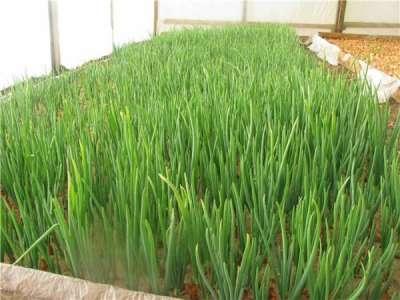 Технология выращивания лука из семян на перо