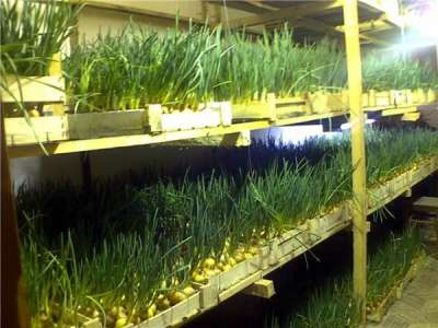 Технология выращивания лука на семена